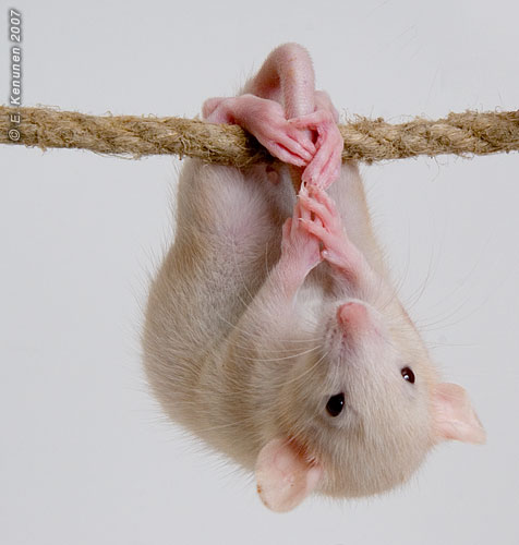 http://www.fancyrat.ru/images/have/15.jpg
